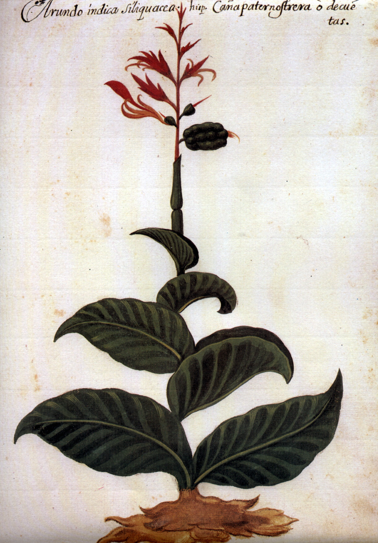 Pomar Caña indica